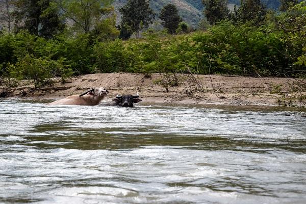 Bufali si ristorano immergendosi nel fiume Kok