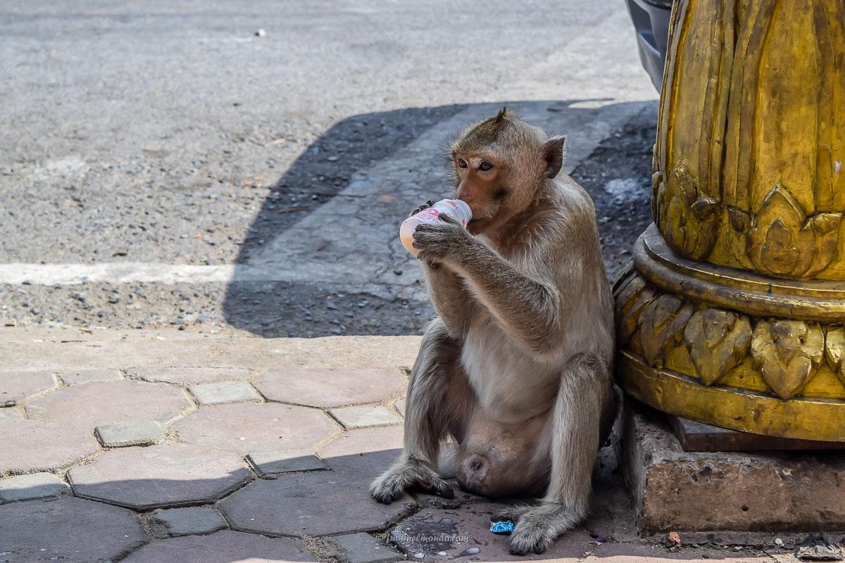 Scimmia a Lopburi che beve