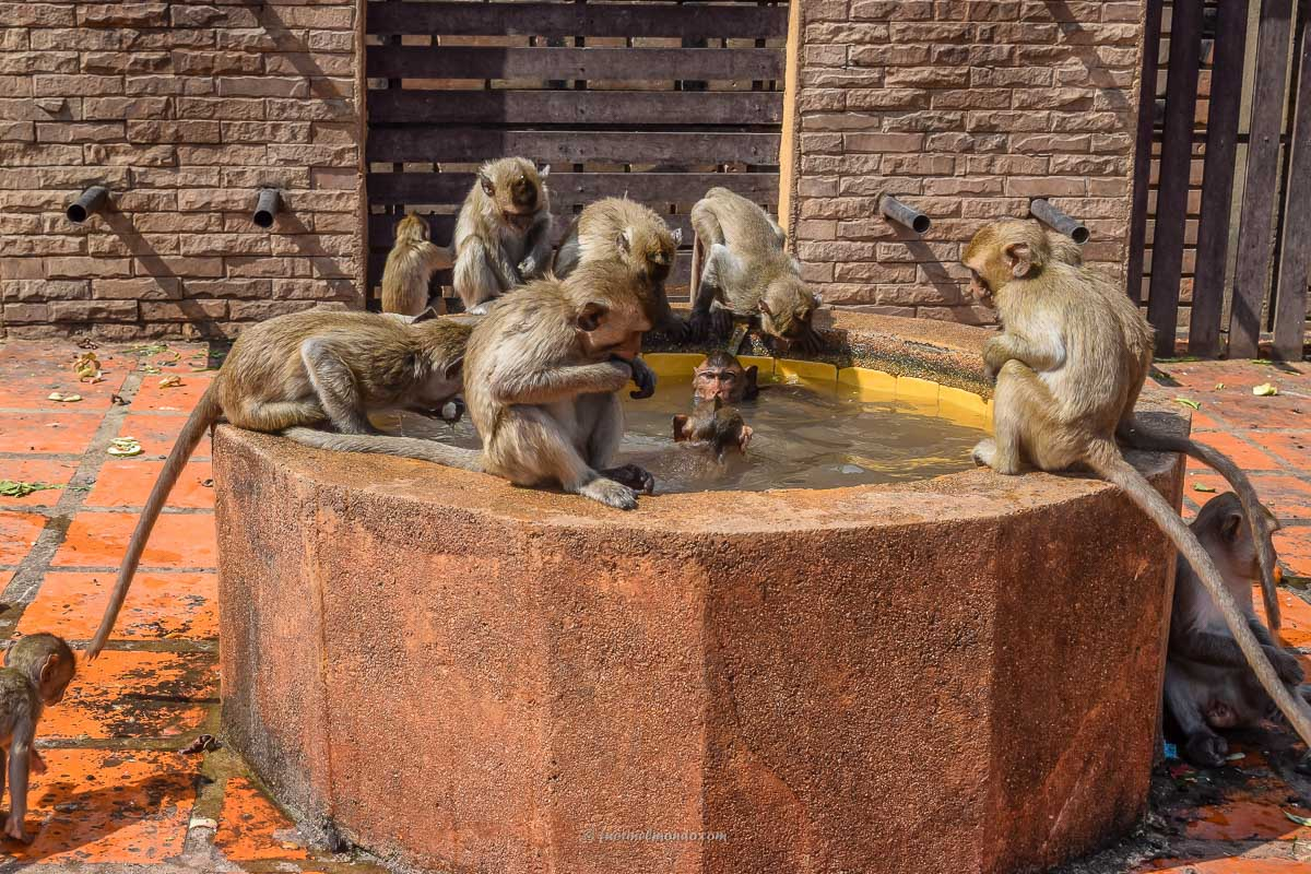 Scimmie che fanno il bagno a Lopburi