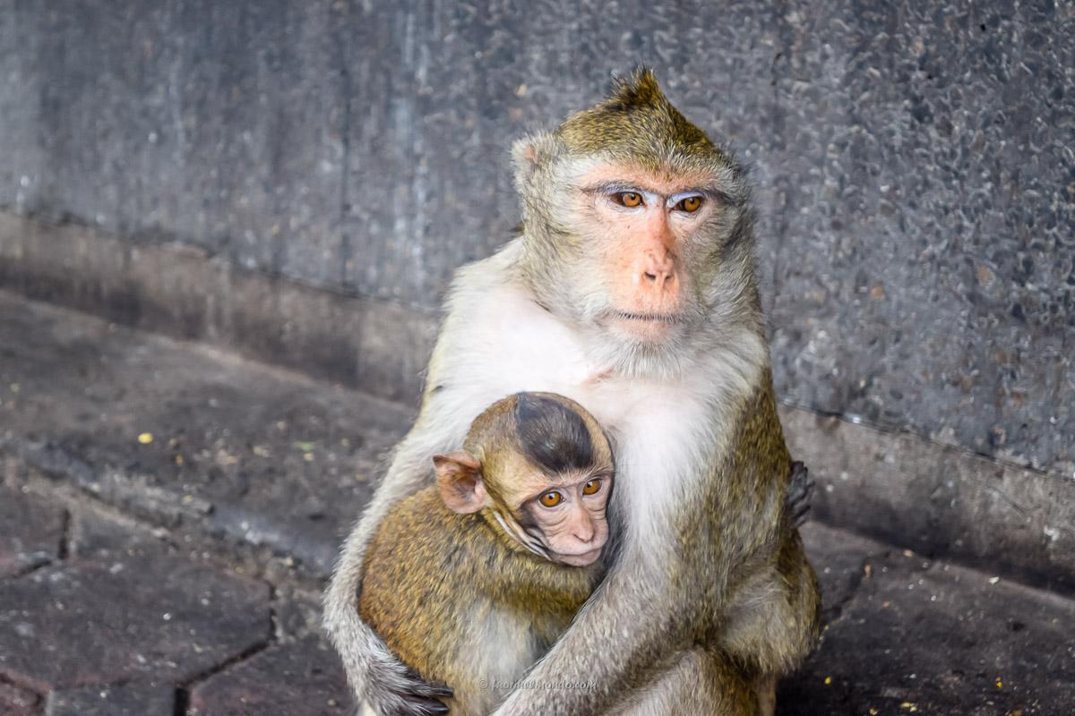 Scimmie si abbracciano a Lopburi