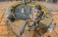 Primo piano scimmia a Lopburi