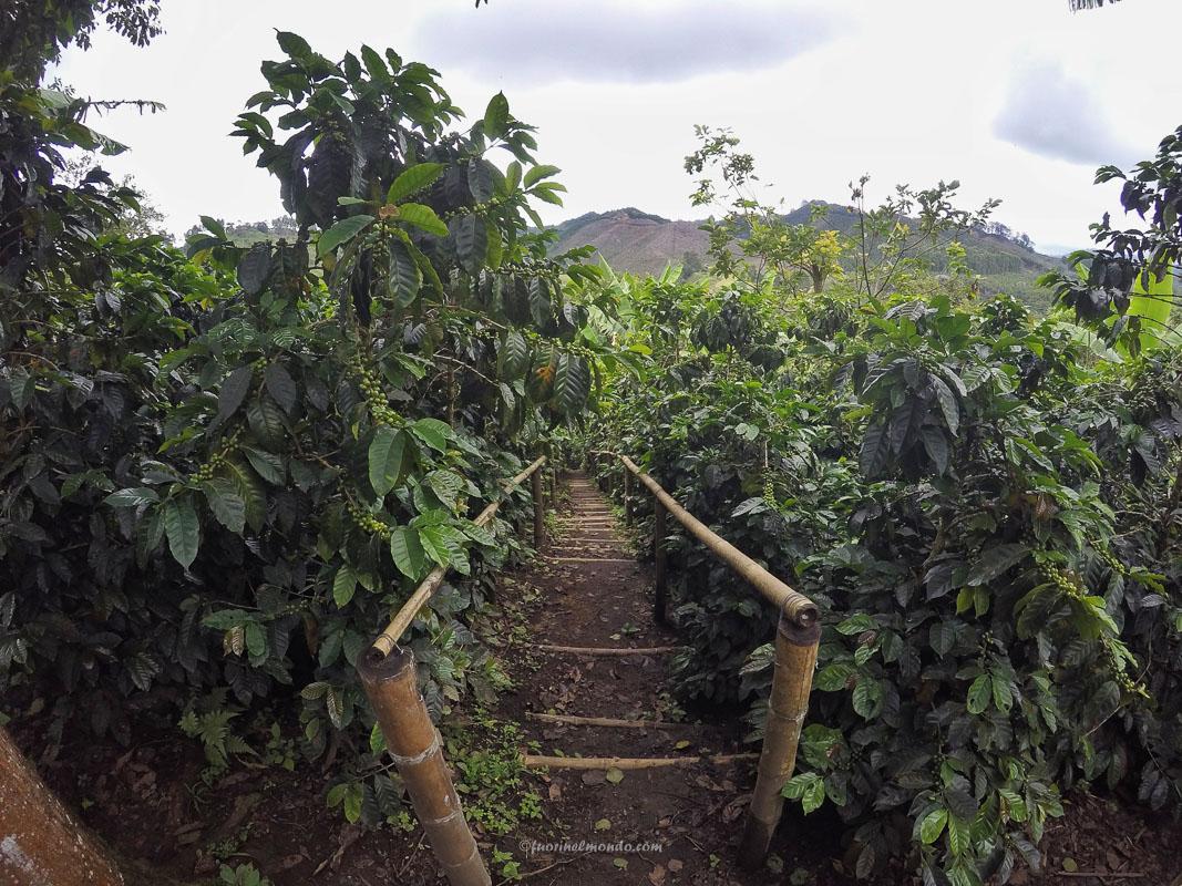 Coltivazione caffè Salento